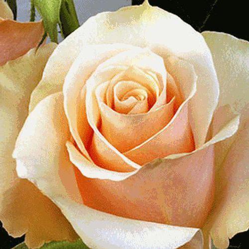 opis prvog ruža