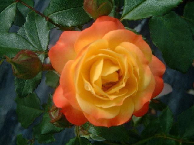 ruža rumba