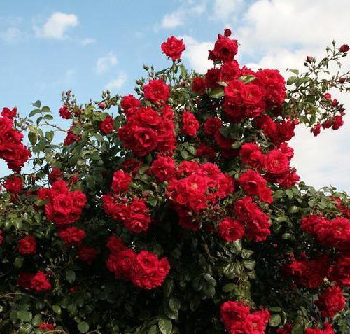 Penjanje Rose Salite