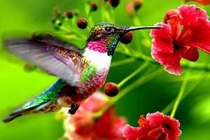 Najmanja ptica na svijetu jedna je od najhrabrijih na našem planetu!