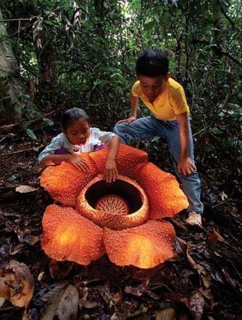 Najveći cvijet na svijetu: bit ćete iznenađeni!