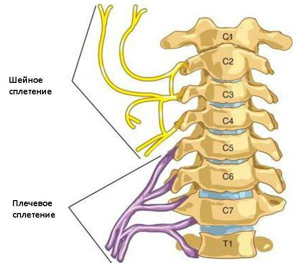 cervikalni pleksus