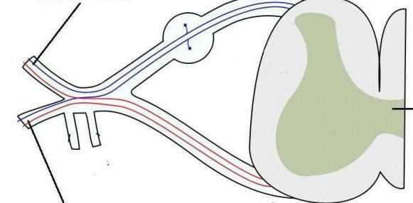 živaca cervikalnog pleksusa