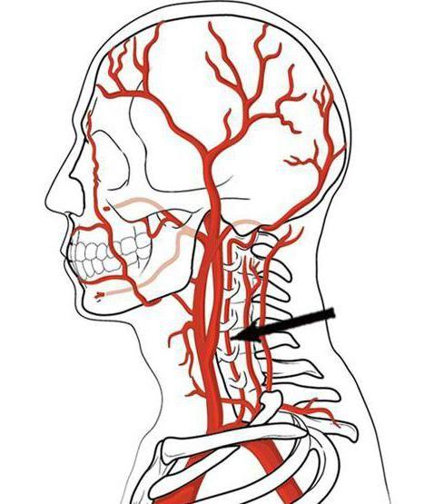 anatomije cervikalnog pleksusa
