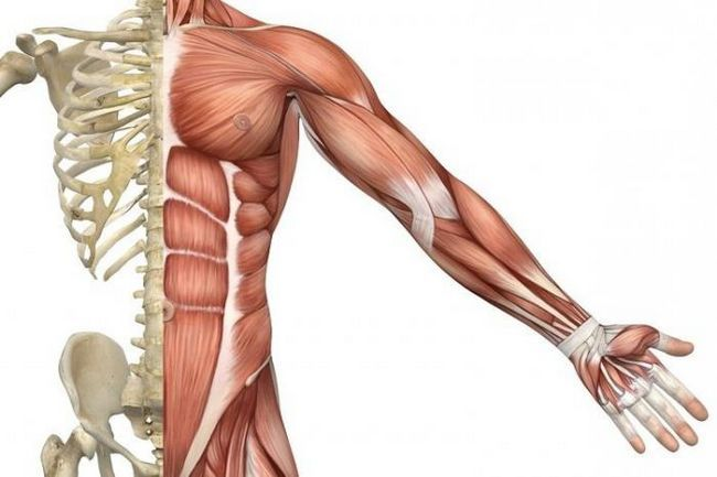 функции скелетных мышц