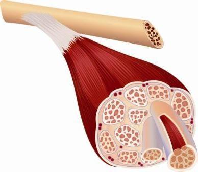 группы скелетных мышц