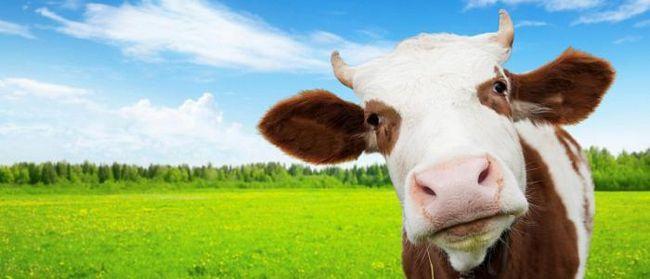 koliko dana kravu daje mlijeko