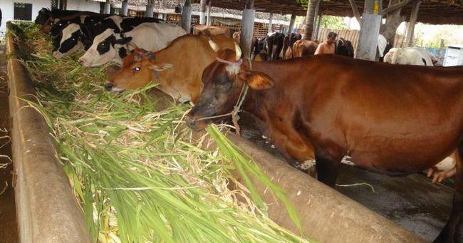 Koliko litara mlijeka dnevno daje krava?