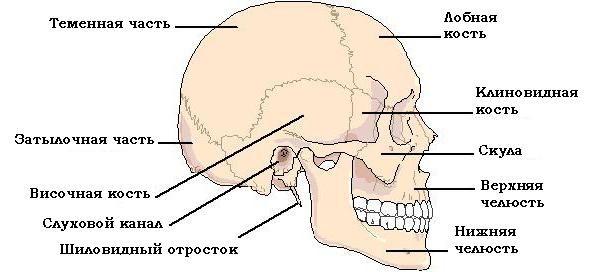kosti ljudske strukture lubanje