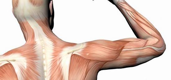 funkcija mišića podlaktice