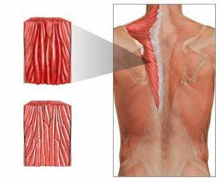 mišiće i njihove tablice funkcija