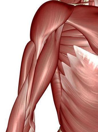 struktura i funkcija mišića