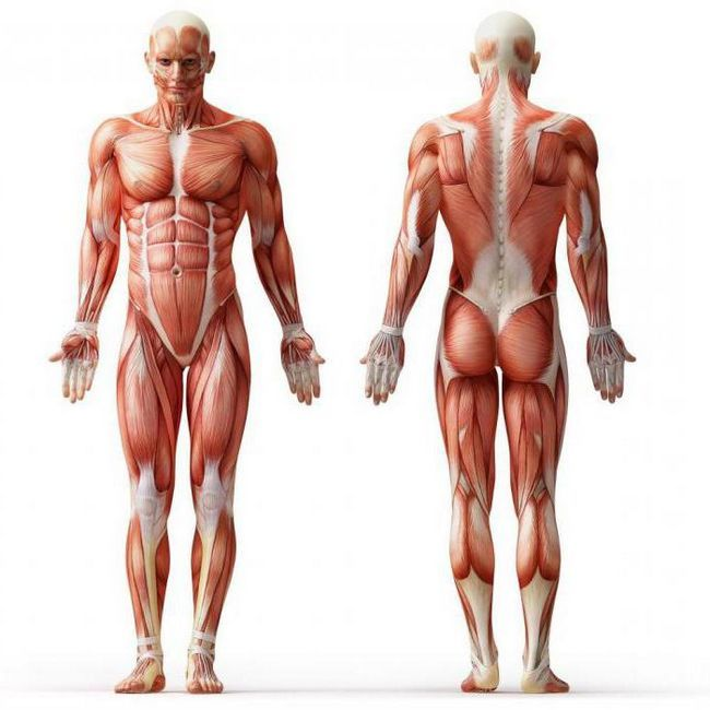 struktura i klasifikacija mišića