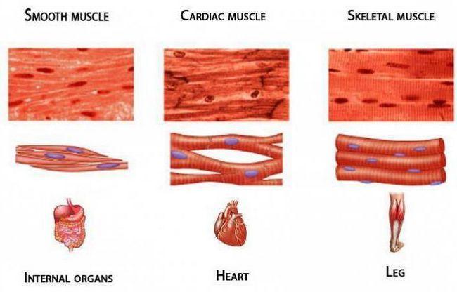 klasifikacija ljudskih mišića