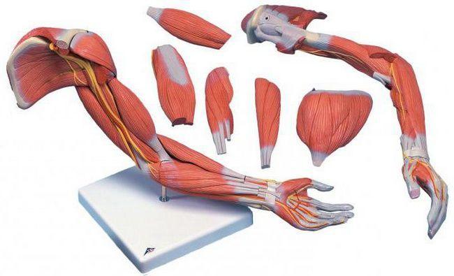 razvrstavanje mišića po funkciji