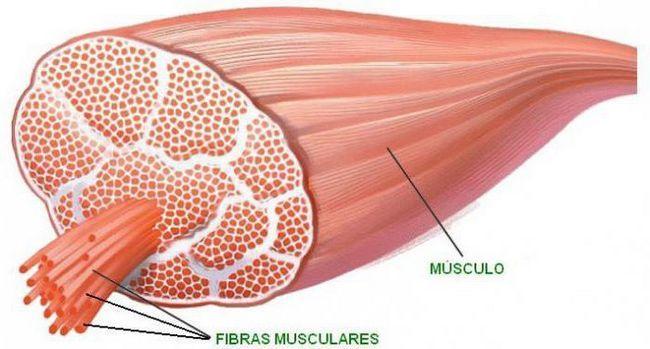 razvrstavanje mišića
