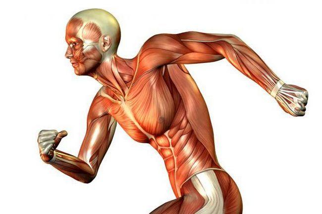 klasifikacija skeletnih mišića