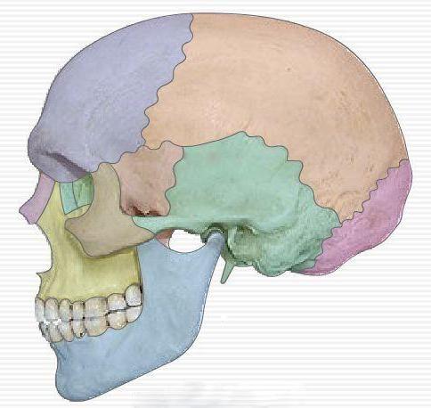 topografija lubanje