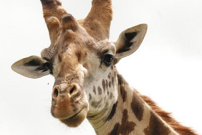 visina žirafa