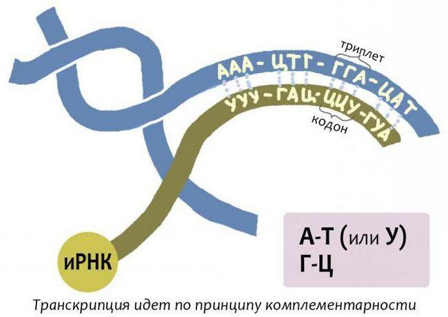 faze sinteze proteina