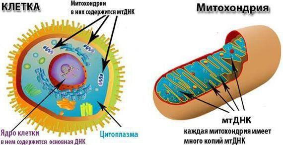 sinteza mitohondrijskih proteina