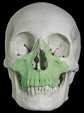 struktura gornje čeljusti