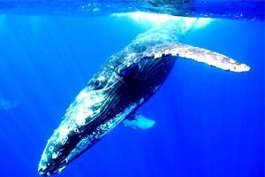 Gospodari mora: o tome gdje živi kit, i zašto je bačen na kopno