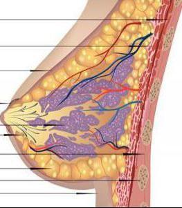 žljezdano tkivo mliječnih žlijezda