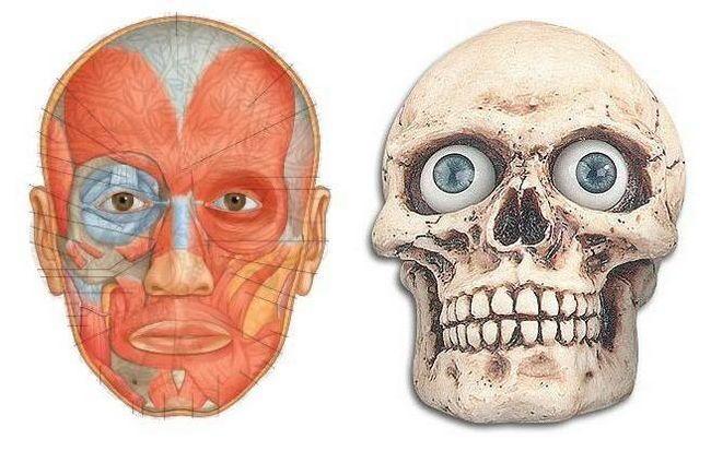 мимические мышцы лица анатомия