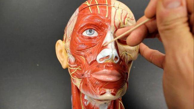 мимические и жевательные мышцы